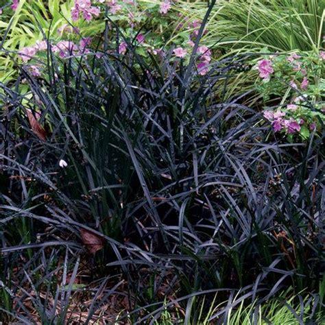 flowering grasses with pink flowers black mondo grass black garden pinterest grasses black and pink flowers