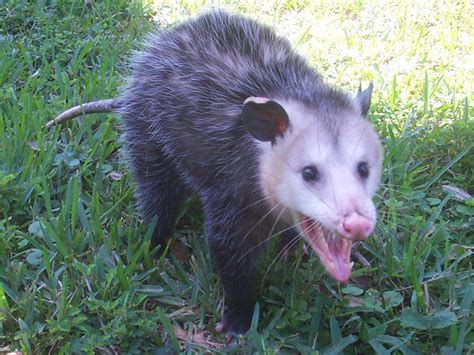 the trapped opossum opossum or possum removal animal wildlife trappers inc