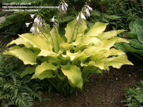 hostas for sun hosta sun power plantfiles picture 4 of hosta sun power hosta perennial garden