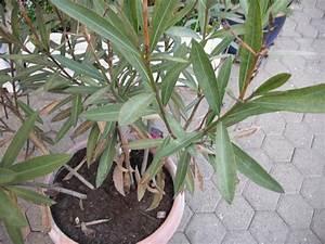 Oleander Zurückschneiden Video : oleander schneiden mein sch ner garten forum ~ Lizthompson.info Haus und Dekorationen