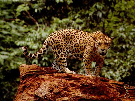 Jaguar Picture by Great Jaguar Wallpapers Hd Wallpapers Id 5043