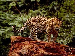 Jaguar - Panthera onca | Dinosaur Archives