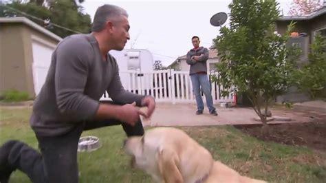 Un Labrador Muerde Al Encantador De Perros Cesar Millán