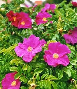 Rose In Kartoffel Anpflanzen : apfelrose sylter rose rosa rugosa kartoffelrose ~ Lizthompson.info Haus und Dekorationen