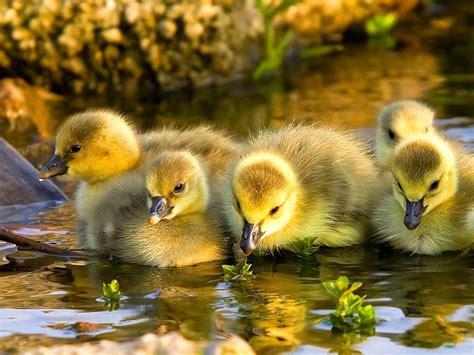 Yellow Duck Wild Life Animal