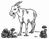 Goat Coloring Pages Billy Pygmy Printable Garden Drawing Goats Simulator Popular Clipart sketch template