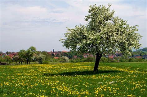 Der Birnbaum  Bild & Foto Von Walter Brants Aus Frühling