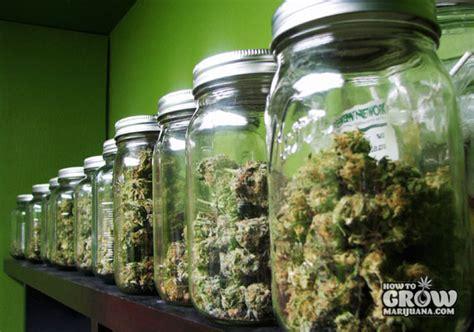 Harvesting, Drying And Curing Marijuana