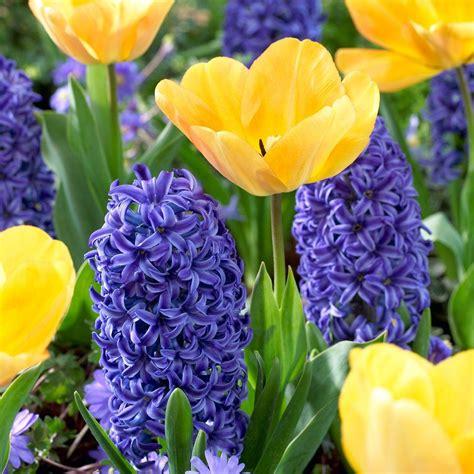 tulip daydream 20 dormant bulbs and hyacinth blue jacket
