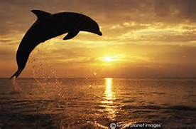 dolphin  Tursiops trun...