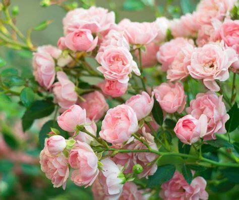 mittel gegen pilze im garten knoblauch sud gegen pilze an garten beet rosenbeet und garten