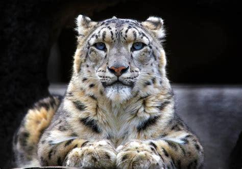 leopardo de las nieves wiki reino animalia fandom