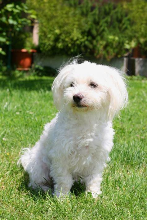 maltese cani da grembo donnad