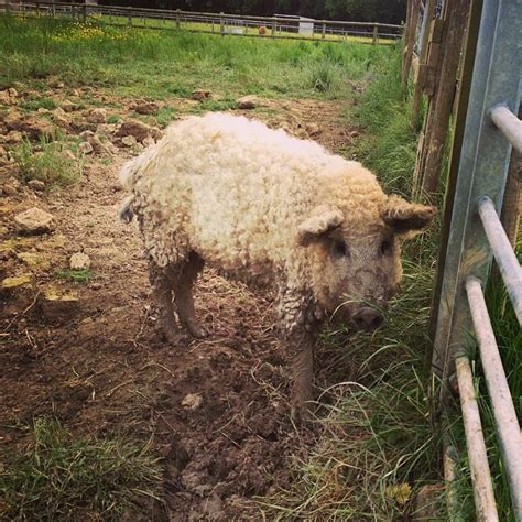 adorbly fuzzy mangalitsa pigs   sheep  act