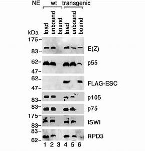 P55 Is Specifically Associated With Esc And E Z  In Vivo  Anti