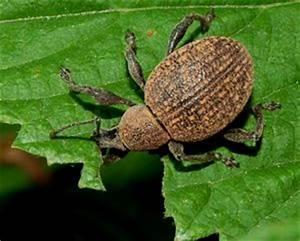 Insecte Qui Mange Le Bois : l otiorhynque le roi de la dentelle de feuilles d ~ Farleysfitness.com Idées de Décoration