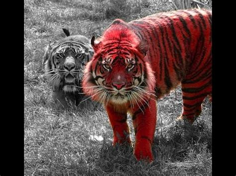 chinese astrology fire tiger youtube