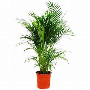 Zimmerpalme Chrysalidocarpus Lutescens Areca Palme
