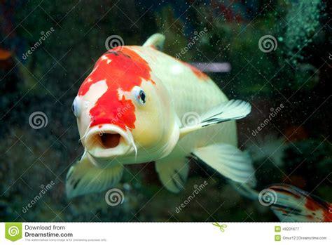 carpe koi dans aquarium carpe dans l aquarium 224 la maison photo stock image 49201677
