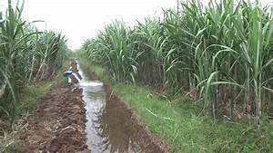 Sugarcane Farming In India