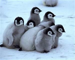 Tianna's Baby Animal Blog: Baby Penguins (Yes Caroline I ...