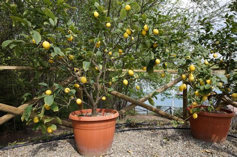 Limone In Vaso Cure agrumi in vaso le cure da riservare loro durante l inverno