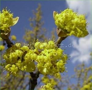 Busch Mit Gelben Blüten : kornelkirsche herlitze dirlitze cornus mas 39 jolico 39 veredelung ebay ~ Frokenaadalensverden.com Haus und Dekorationen