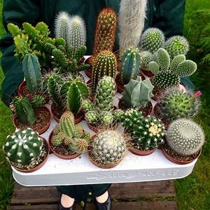 Set of 10 Mixed Cactus Plants in 5.5cm Pots Indoor/House