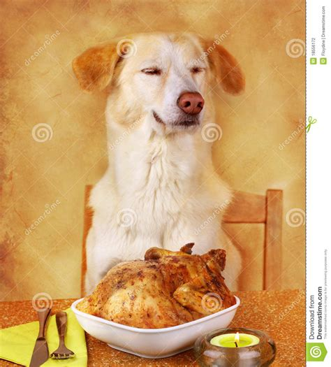 dog likes fried chicken stock photo image