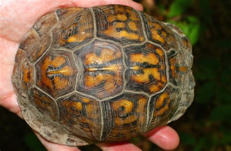 what color is a turtle tortoise shell gemstone buzz