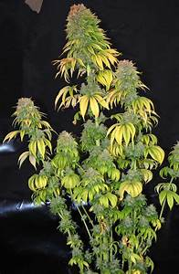Don U0026 39 T Make These 7 Flowering Stage Goofs