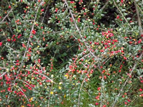 Rote Beeren Strauch Herbst by Bodendecker Rote Beeren Zwergmispeln Cotoneaster Als