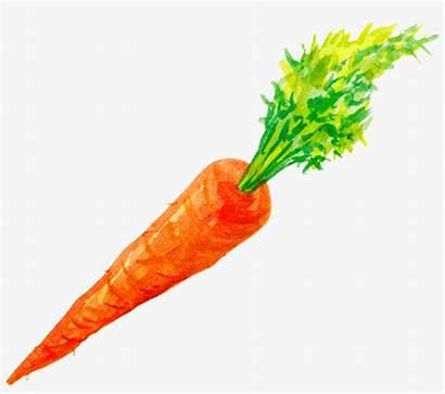 Carrot Carrots Watercolor Clipart Vegetable Painted Transparent