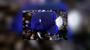 Holacanthus limbaughi Clipperton angelfish