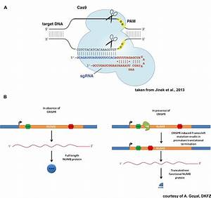 1 Crispr  Cas9 Knock Out Working Principle  To Knock Out A