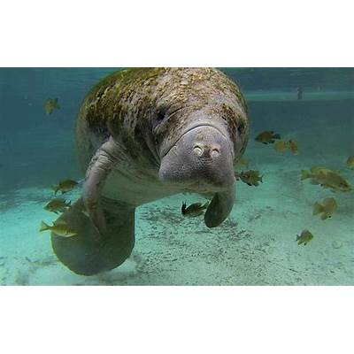 Alabama State Marine MammalWest Indian Manatee