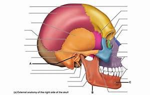 Exercise 11 - Axial Skeleton - Skull - Anatomy 441 with ...