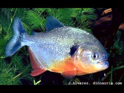 poissons les plus dangereux au monde youtube