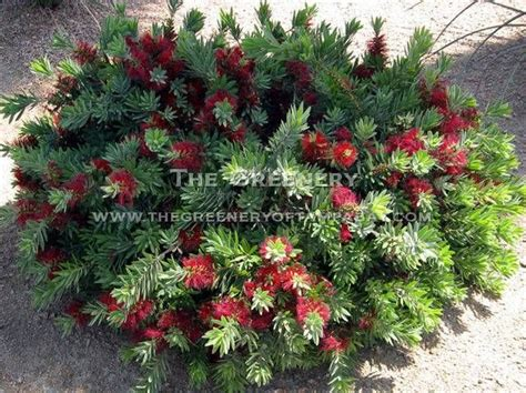 Flowering Evergreen Shrubs Full Sun Wwwpixsharkcom