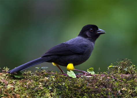 yellow thighed finch bird watching in panama boquete