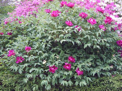 file paeonia suffruticosa 01 jpg wikimedia commons
