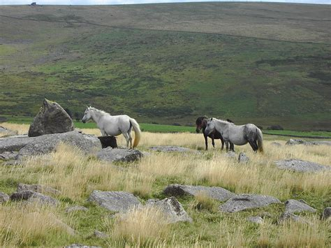 dartmoor ponies wild pony horse moor horses england wikipedia highland species moors file keystone breeds grazing mis tor history shetland