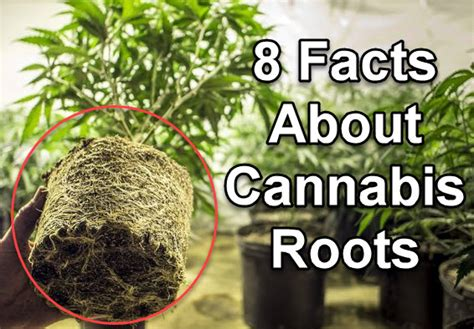 8 Facts About Cannabis Roots