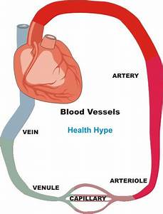 Diagram Of Arteries Veins And Capillaries