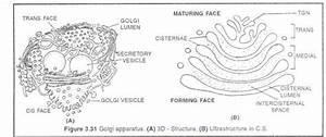 Golgi Apparatus Of Eukaryote Cells  With Diagram