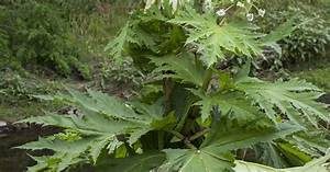 Giant hogweed is spreading after heatwave - everything you ...