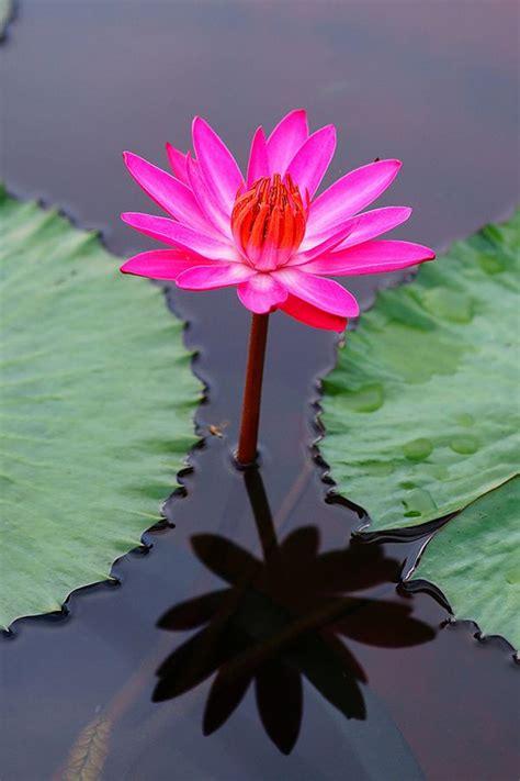 ideas  lotus flowers  pinterest lotus lotus flower tattoos  meaning  lotus