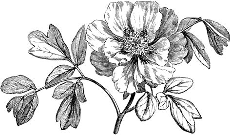 flowering branch  mountain peony clipart