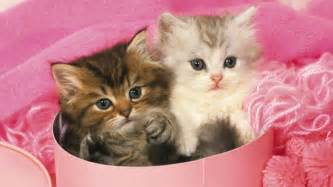 teacup cats what is a teacup kitten ask