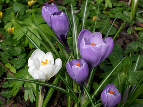 pictures of crocus file crocus group jpg wikipedia